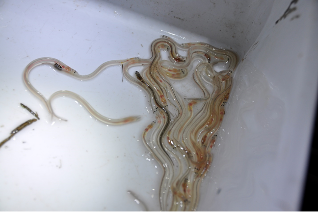 Glass Eel citizen science