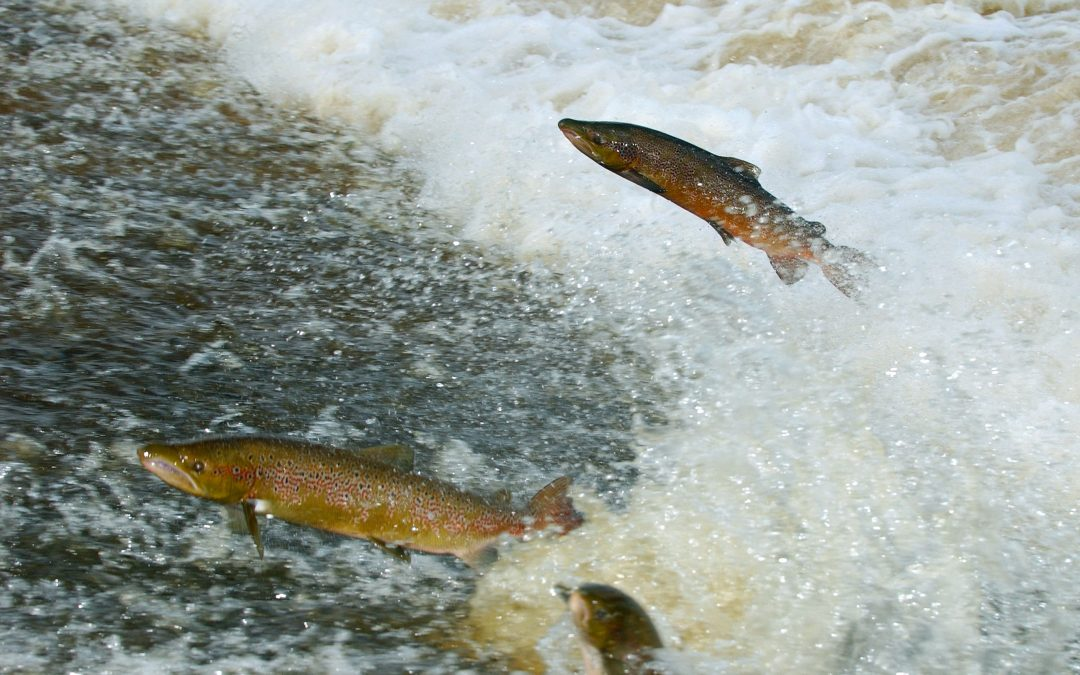 WMN Comment: Helping fish swim Upstream