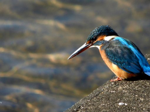 Quest for Kingfishers