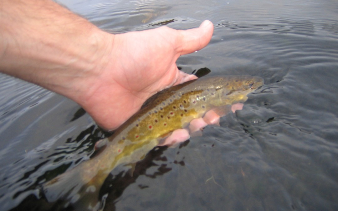 The human impact on trout genetics in small streams in Cornwall.