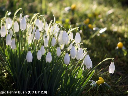 A walk among the snowdrops