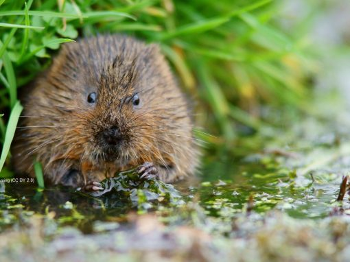 Catching Sight of the Water Vole