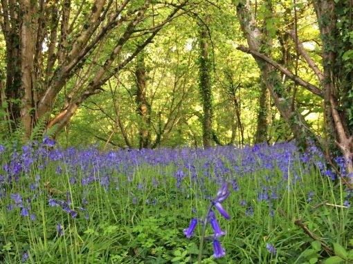 Bring on the Bluebells